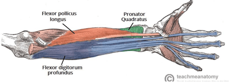 Figure 2 Extrinsic flexor compartment