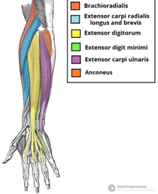 Figure 3: Extrinsic extensor compartment