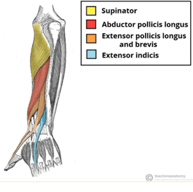 Figure 4: Extrinsic extensor compartment